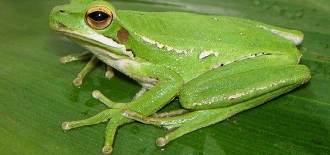 Investigadores de San Luis y del Litoral descubren propiedades anti-Alzheimer en la piel de una rana